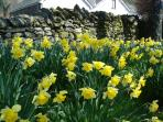 Lakeland daffodils in spring