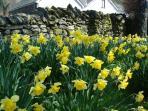 Lakeland daffodils in spring