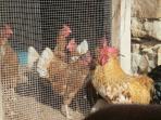 El gallo 'Kiriko' visitando a las gallinas