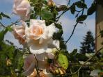 'Helen Traubel' rose on the garden pathway...she opens salmon colored, then fades to pale white