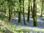 Bluebell woods in springtime