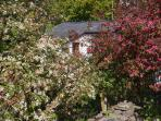 Orchard Cottage behind the blossoming trees - taken in the month of May