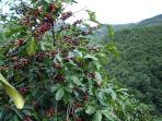 Coffee fields abound below in the valley
