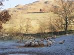 Winter sheep and Hallin Fell