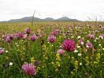 Profusion of vibrant colour on South Uist machair