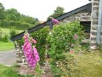 Foxgloves on the side wall