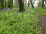 Blue bells in the woods at the end of the garden.  (April-May is a great time for spring Flora)