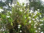 our orchids in full bloom