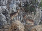 cabra montesas die samen met de herten dagelijks mijn tuin bezoekt