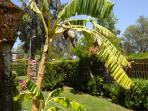 The Lagoon Villa grassy garden with tropical flowers, banana trees, mint, rosemary and chillis