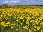 Flowering of the machair
