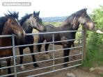 Our horses - Awel, Seren and Tommy