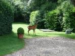 Wild dear are often seen in the gardens