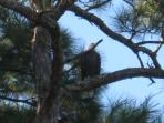Bald Eagles resting in pines
