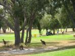 Enjoy a game of golf-watch for kangaroos