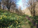 Famous Farndale daffodills