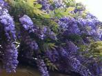 Glicine in fioritura