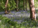 The Bluebell Wood at Cools Farm