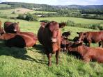 Red Poll Cattle at Cools Farm