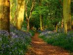 another enchanted picture of the bluebell woods at the start of Grimm,s Dyke, the Ridgeway, 5mins
