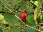 summer tanager -male