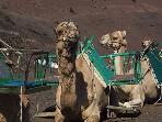 Camels at Timanfaya National Park