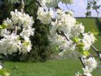 Apple Blossom in the orchard