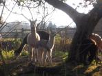 Alpacas in Langley Green estate