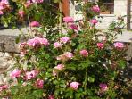 Welcoming pink rose bush