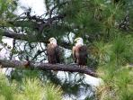 Wildlife at Aviana. Two American Bald Eagles in a tree just behind our Private Pool area