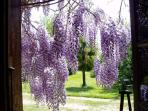 Wisteria blooms in April