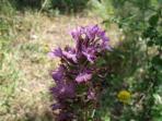 Orchidea Selvaggia di Belmonte