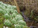 Spring snowdrops by the stream in the garth.