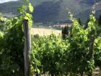 Chianti vineyards of Podere Vignola