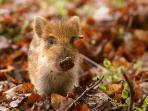 Spot wild boar piglets!