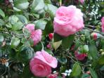 The Big Camillia - 150 years old