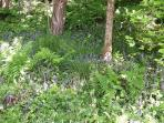 Bluebells in local wood