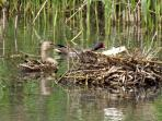 A nesting Moorhen & a Mallard Duck on the lake at Crewyard Holiday Cottages