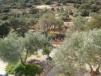 Huge private olive grove to explore