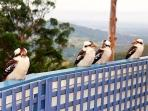 With a Cacophony of Kookaburras for Company