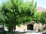 The 250 year old Mulberry (Mûrier) tree