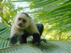 White-faced Capuchin monkey in the yard at Cabinas Ola Mar...this is a daily sight.