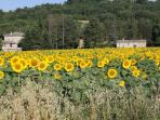 Surrounding areas are fields filled with sunflowers