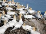 Gannets nesting on the Bass Rock. Day trips April - October