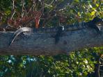 a iguana is enjoying a sunbath