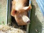 Holly, our pet pig