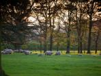 Sun setting through the trees with ewes and lambs