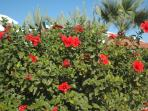 Red Hibiscus : Flowers Everywhere