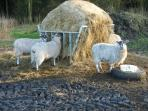 We share this area with a large number of sheep!