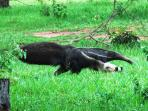See one of the Giant Anteaters at Pantanal Ranch Meia Lua